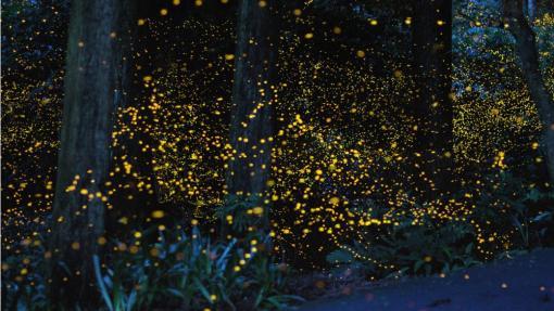 Лес светлячков в Японии